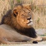 Lion-899 copy
