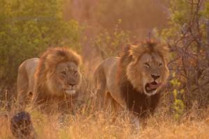 Lion-947 copy