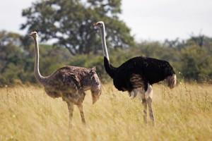 Ostrich 006