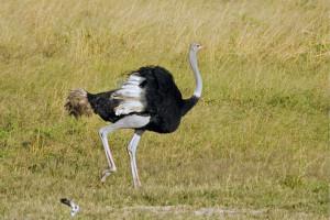Ostrich 009