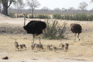 Ostrich 013