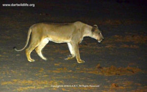 1-pre-darting-visit-by-lioness
