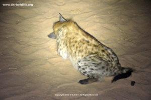 2-hyena-down